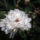 White peony II by PhotosByHealy