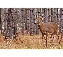 Deer Buck - Ottawa, Ontario - 2 Photographic Print