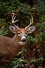 White Tailed Deer Buck - Ottawa, Canada by Michael Cummings