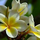 Frangipani Flowers Photograph by troyw