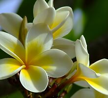 Frangipani Flowers Photograph by troyw