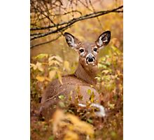 White Tail Deer Relaxing Photographic Print