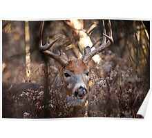 White Tailed Deer Buck In Woods Poster
