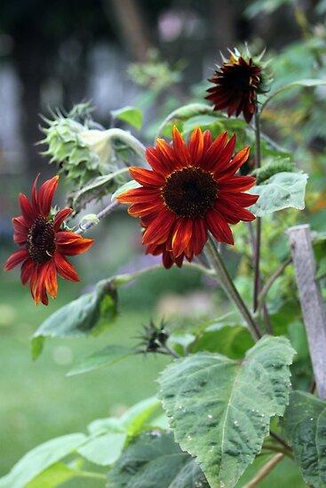 Orange Rusty Sun Flowers  by Sandra Foster