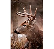 White Tailed Deer Buck Photographic Print