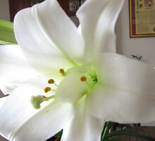 EASTER LILY.. by gypsykatz