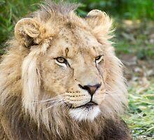 122014 lion by pcfyi