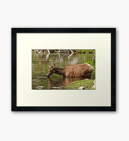 Female Elk in Lake Framed Print