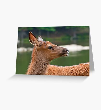 Young Elk Greeting Card