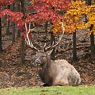 Bull Elk In Autumn by Michael Cummings