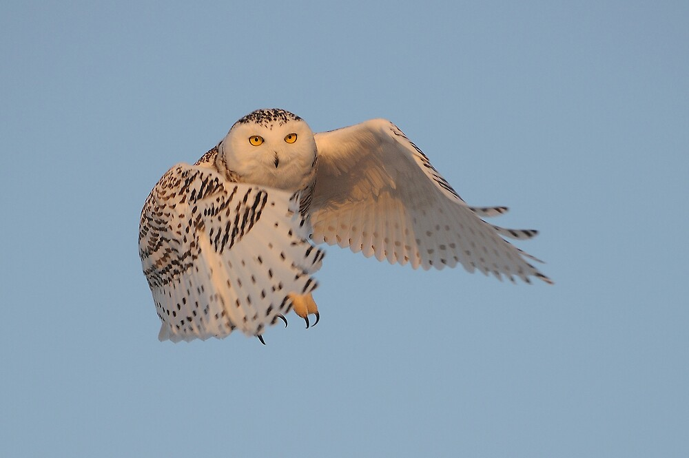 Snowy Owl in Flight by Raymond J Barlow