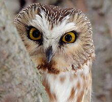 Northern Saw-whet Owl Peeking! by Raymond J Barlow