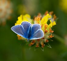 Common Blue Butterfly (Polyommatus icarus) University of Limerick by Gerard  Horan