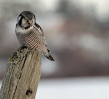 Northern Hawk Owl Hunting by Raymond J Barlow