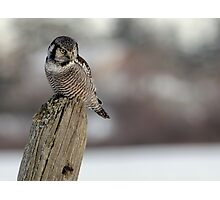 Northern Hawk Owl Hunting Photographic Print