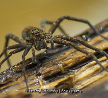 Big Wild Wolf Spider by BLaskowsky