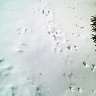 Animal Tracks in the Snow - Feb. 2008 by Christopher Johnson