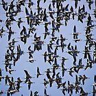 ...some Aussie birds by Lisa  Kenny
