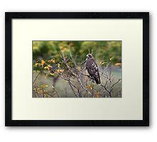 Red-tailed Hawk Hunting Framed Print
