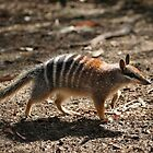 Numbat by Martin Pot