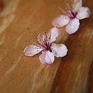 fallen cherry blossum by mark brown