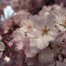 Cherry Blossom in Washington DC by Brad Staggs