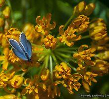 Blue Butterfly on an Orange Wildflower by BLaskowsky