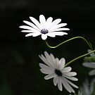 Daisy  by Emilie R
