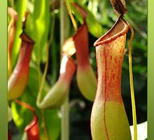Pitcher plant by Peace Mitchell