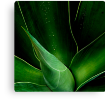 Droplets on the Aloe  Canvas Print