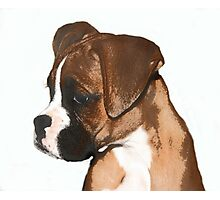 Fawn boxer puppy Photographic Print