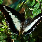 BLUE-SPANGLED CHARAXES NO 2 by Magriet Meintjes