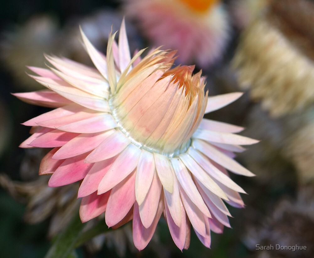 Paper Daisy by Sarah Donoghue
