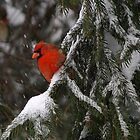 Winter Red by Gaby Swanson  Photography
