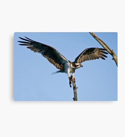 Osprey - Ottawa, Ontario Canvas Print