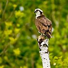 Osprey on Tree - Ottawa, Ontario by Michael Cummings