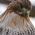 Red Tailed Hawk Portrait - Presqu'ile Park by Michael Cummings