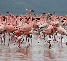 Dancing Flamingos by Michelle Thomson