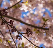 Cherry Blossom Buds #1 by Image11