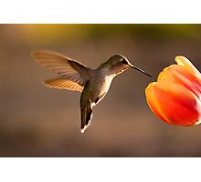 Sun Setting on a Hummer & Tulip Photographic Print