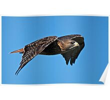 Red-tailed Hawk - Amherst Island, Ontario Poster