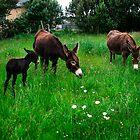 Donkeys grazing sweet grass by Gerard  Horan
