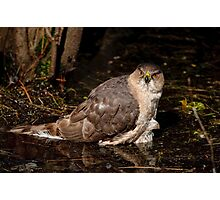 Coopers Hawk- Ottawa, Ontario Photographic Print