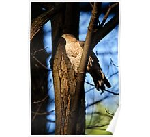 Coopers Hawk - Ottawa, Ontario Poster