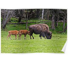 Bison And Calves Poster
