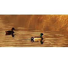 Mallard Drake & Hen - Golden Hour Photographic Print
