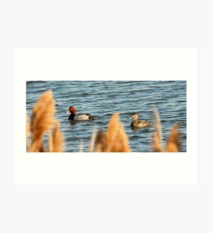 Redhead Drake & Hen - Utah Waterfowl Art Print