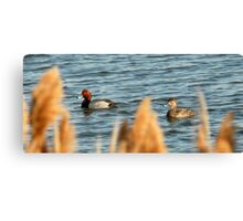 Redhead Drake & Hen - Utah Waterfowl Canvas Print
