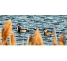 Redhead Drake & Hen - Utah Waterfowl Photographic Print