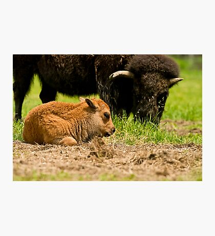 Bison And Calf Photographic Print